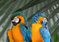 Free Blue And Yellow Macaw Royalty Free Stock Photo - 4861515