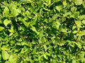 Free Leaves Texture Royalty Free Stock Photography - 4867157