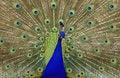 Free Peacock Stock Photos - 4868783