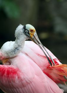 Colorful Pelican Royalty Free Stock Photo