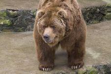 Free Brown Bear Royalty Free Stock Photos - 4860148