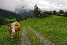 Free The Alpine Landscape With Cows Stock Image - 4861601