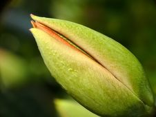 Free Tulip Bud Royalty Free Stock Images - 4862019