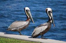 Two Pelicans Waiting For Dinner Stock Image