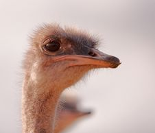 Free Ostrich On Gaurd Royalty Free Stock Image - 4863096