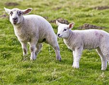 Free Two Young Lambs Stock Photo - 4863590
