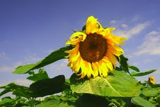 Free Sunflowers Stock Images - 4863824