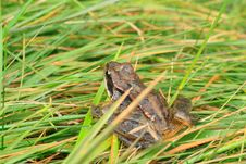Free Frog In Grass Royalty Free Stock Image - 4864136