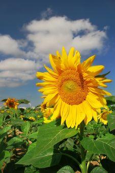 Free Sunflower. Stock Photography - 4865272