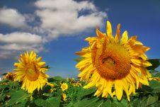 Free Sunflowers. Stock Photos - 4865273