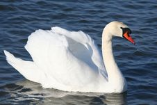 Free Graceful White Swan On A Water Royalty Free Stock Photo - 4867125