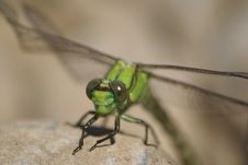 Free Dragon-fly Royalty Free Stock Photos - 4867548