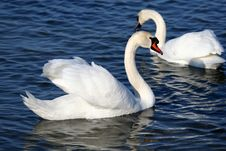 Free Graceful Couple Of White Swans Stock Image - 4867781