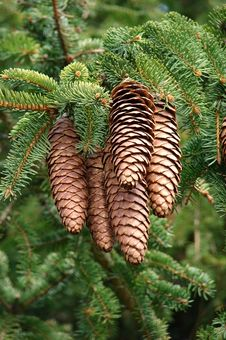 Free Pine Cones Royalty Free Stock Photography - 4868097