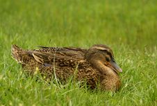 Free Clos Up Shot Of Wild Female Duck Stock Images - 4868134