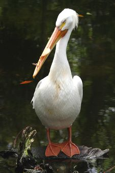 Free White Pelican Stock Image - 4868271