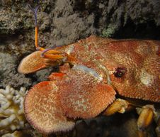 Free Slipper Lobster Head Macro Royalty Free Stock Images - 4868529