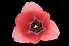 Free Tulip Royalty Free Stock Photography - 4869037