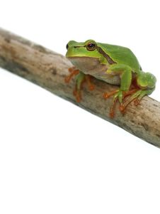 Free Tree Toad Frog Stock Photos - 4869243