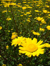 Free Yellow Flowers Field Stock Images - 4870204