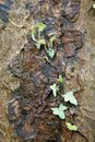 Free Ivy Growing On Bark Stock Photography - 4871182