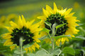 Free Sunflowers Stock Photos - 4877543