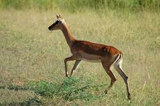 Free Impala Antelope Royalty Free Stock Photos - 4870158