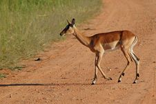 Free Impala Antelope Stock Photography - 4870192