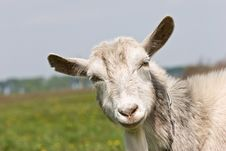 Free Goat Royalty Free Stock Photography - 4870367