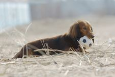 Free Longhair Dachshund Royalty Free Stock Photography - 4870677