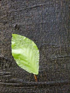 Free Green Leaf On A Wet Bark Stock Photo - 4870790
