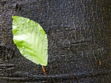 Free Green Leaf On A Wet Bark Stock Photography - 4870852