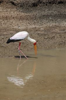 Free Yellow Billed Stork Royalty Free Stock Photos - 4870868