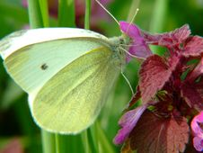 Free White Butterfly Royalty Free Stock Photography - 4870947