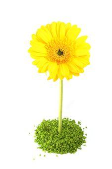 Free Yellow Gerber Flower Royalty Free Stock Photos - 4871058