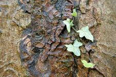Free Ivy Growing On Bark Stock Photo - 4871170