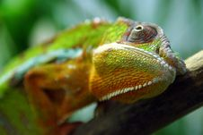 Free Colorful Lizard Royalty Free Stock Image - 4871966