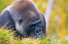 Free Gorilla Stock Photography - 4872292