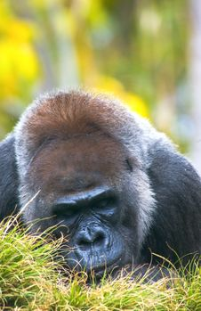 Free Gorilla Stock Photography - 4872462