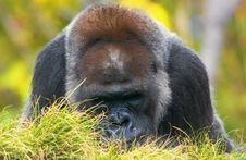 Free Gorilla Royalty Free Stock Photography - 4872567