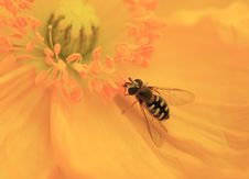 Honeybee Approaches Golden Stamen Royalty Free Stock Image