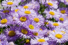 Free Purple Daisies Stock Photos - 4872903
