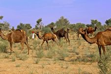 Free India; Jaisalmer; Camels Stock Images - 4873374