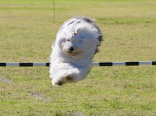 Free Leaping Dog Royalty Free Stock Photography - 4873487
