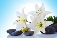Free Madonna Lily Stock Image - 4874751