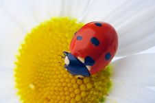 Free Ladybug On Camomile Flower Royalty Free Stock Photography - 4874777