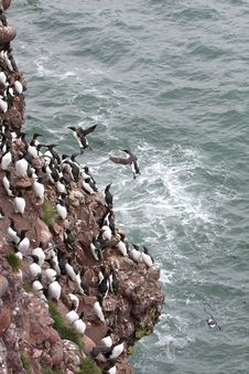 Guillemots At Fowlsheugh Royalty Free Stock Image