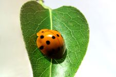Free Ladybug Stock Photography - 4875002