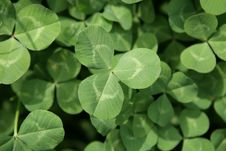 Free Clovers Royalty Free Stock Photography - 4875017