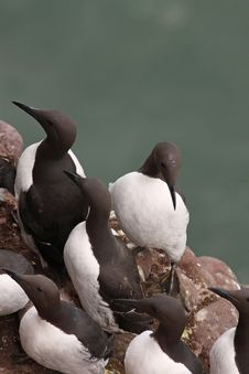 Free Guillemots At Fowlsheugh Royalty Free Stock Photography - 4875027